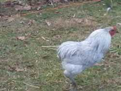 Young and Big Rumpless Araucana for sell