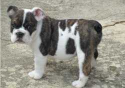 AKC Registered English Bulldog Puppies