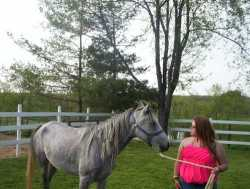 4 yr old grey  Mare Green Broke
