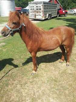 Ponies For Sale- Broke and Projects-