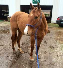 AQHA Red Dun Gelding (Doc Bar, Smart Little Lena)