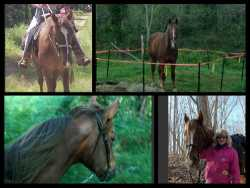Registered TWH Gelding