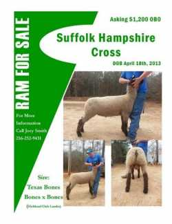 Suffolk/Hampshire Ram For Sale TEXAS BONES Blood