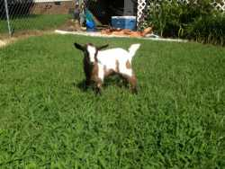 MGR Registered Blue Eyed Fainting Goat